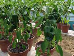 Peppers, Lower Lovetts Farm (2) (karenblakeman) Tags: uk food vegetables reading july peppers berkshire knowlhill 2015 organickitchengarden readingfoodgrowingnetwork rfgn lowerlovettsfarm