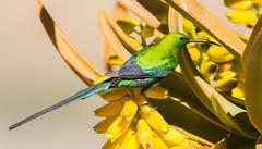 Malachite Sunbird (Nectarinia famosa) (George Wilkinson) Tags: malachite sunbird nectariniafamosa northern cape goegap nature reserve south africa karoo bird wildlife canon 7d 400mm