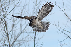 Chouette Lapone (Great Gray Owl) (lachance.germain) Tags: 2017 chasse hiver hibou strigidae strixnebulosa auvol