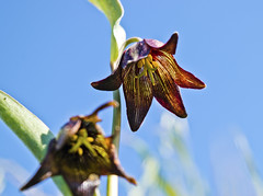 Chocolate Lily (Nathan Wickstrum) Tags: santa monica mountains rancho sierra vista chocolate lily