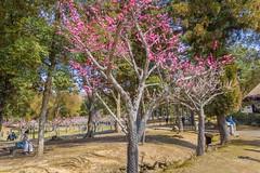 Kataoka Plum Grove in Nara Park, Japan. (KyotoDreamTrips) Tags: kataokaplumgrove nara narapark plumblossoms ume 奈良公園 梅花 片岡梅林