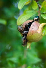 Pomegranate (Celia Martnez) Tags: green closeup fruit beetle pomegranate insects bugs
