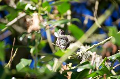 DSC_1511 (john.r.d.reynolds) Tags: goldengatepark birds wildlife hummingbirds