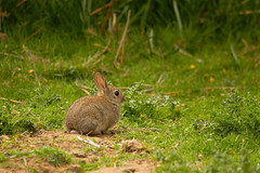 European rabbit (jon lees - pram pushing photography only...) Tags: flowers pet cute furry ears whiskers grassland juvenile pest britishwildlife subadult assi longears nationalnaturereserve oryctolaguscunniculus killard europeanwildrabbit speciesrichgrassland photoref724 photoref1115