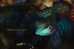 big males (PaparazSea.com) Tags: v lao jun malapascua divephilippines mandarinfishdive paparazsea divelighthouse