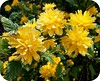 Beautiful Yellow Flowers .. (** Janets Photos **) Tags: uk flowers yellow yorkshire hull shrubs masterphotos artisticflowers takenwithlove exquisiteflowers mindigtopponalwaysontop lovelyflickr thegoldenachievement goldenachievement dreamlikephotos takenwithhardwork lovelynewflickr