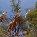 https://www.twin-loc.fr  Essaouira - Chèvres dans les arganiers - Maroc / Goats in Argan - Morocco - Photo Image Photography - Huile d'Argan Argan oil www.supercar-roadtrip.fr