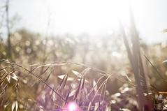 (AlevelA) Tags: sunset summer sun nature nikon m42 brightness d90 sprigs heliosm44manualmanuallens