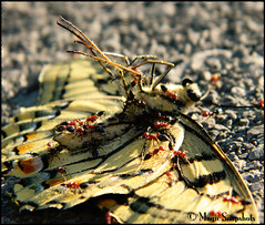 Still butterfly (Magic Snapshots) Tags: food nature butterfly dead still ant fallen collect gather
