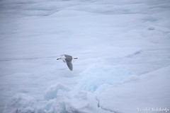 Glaucous Gull. Svalbard, Norway (6 Jul 2013) (Vinchel) Tags: norway canon is gull svalbard arctic adventure ii usm ef 400mm glaucous f28l 1dx
