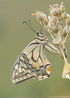 Swallowtail, P.m. gorganus