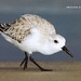 2nd Place - Published Images - Al Perry - Sanderling on Beach