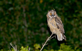 Bufo pequeno - Asio otus - Long-Eared Owl