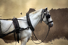 horse (R. O. Flinn) Tags: horse animal profile harness blinders