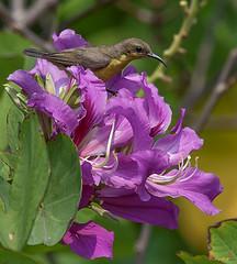 Olive-backed Sunbird Female (Cinnyris jugularis) (DTHN0044) นกกินปลีอกเหลือง หญิง (Gerry Gantt Photography) Tags: bird nature thailand bangkok sunbird กรุงเทพฯ olivebackedsunbird cinnyrisjugularis ประเทศไทย yellowbelliedsunbird นกกินปลีอกเหลือง totallythailand thailandประเทศไทย bangkokกรุงเทพ chatuchakเขตจตุจักร chatuchakเขตจตุจ