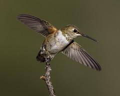 Rufous Hummingbird (Explore) (Eric Gofreed) Tags: hummingbird sedona mybackyard villageofoakcreek rufoushummingbird yavapaicounty