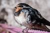Swallow (Raven Photography by Jenna Goodwin) Tags: camera baby jenna bird photography minolta bokeh sony flash off alpha swallow raven strobe hatchling goodwin rspb ravenphotography