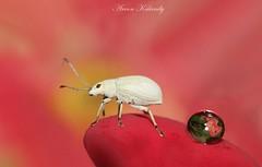White Weevil........ (aroon_kalandy) Tags: pink macro nature floral drops tamron weevil calicut aroonkalandy