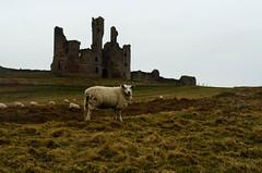 Dunstanburgh Castle (karldelahaye) Tags: sea castle coast nikon sheep northumberland dunstanburghcastle d5100 nikond5100 karldelahaye