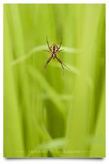 'Ankabut | Rezeki Allah Ada Di Mana-Mana (AnNamir c[_]) Tags: macro green nature spider nikon web kitlens malaysia getty tamron hijau labahlabah  pertak rezeki ankabut annamir muktasyaf tabarakallah rezekiallahdimanamana ayatberkenaanlabahlabahdidalamquran