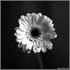Gerbera. Bronica S2, ORWO NP22, exp:1992. (Andrey Maltsev) Tags: old bw plant flower 120 6x6 film canon scan 120film bronica scanned dryflower expiredfilm dryflowers extensiontube orwo bwfilm middleformat 8800 blackandwhitefilm bronicas2 iso125 orwonp22 np22 blackandwhiteflower canon8800f