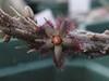 Rhytidocaulon ciliatum (odds&endssg) Tags: asclepiadaceae rhytidocaulon