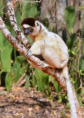 Verreaux's Sifaka Lemur, at Berenty private reserve, Southern Madagascar. (One more shot Rog) Tags: nature animal fauna private dance jumping dancing wildlife reserve lemur lemurs madagascar jumps sideways berenty sifaka sifakas berentyreserve madagascarwildlife dancingsafaka