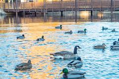 Riverfront Park Poultry (Ed Suominen) Tags: light river geese duck washington spokane raw dusk ducks goose waterfowl washingtonstate riverfrontpark lightroom easternwashington inlandnorthwest