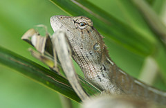 Watching (r.brownlow) Tags: reptile lizard malaysia bachok