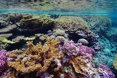 Coral gardens at Palmyra Atoll NWR. Photo credit: Kydd Pollock (USFWS Pacific) Tags: shipwreck palmyra usfws coralreef nationalwildliferefuge palmyraatollnwr pacificremoteislandsmarinenationalmonument usfwspacificregion