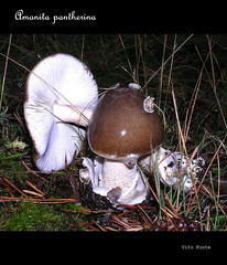 amanita pantherina (vitofonte) Tags: naturaleza nature mushrooms natureza natura toadstool seta hongo amanitapantherina panthercap falseblusher vitofonte amanitapantera falsogalipierno vigilantphotographersunite vpu2 vpu3 orojapantera