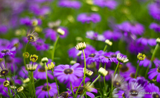Purple Flower Bokeh, At Leisure Valley, Gurgaon