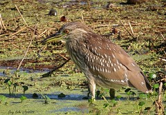 Black-crowned Night-Heron Juvenile (Gary Helm) Tags: usa lake bird nature water birds animals canon mexico outside lago us unitedstates florida wildlife canals swamps rivers wetlands northamerica streams waterfowl mangroves ponds centralamerica centralflorida polkcounty saltmarshes reservoirs tidalmudflats blackcrownednightheronjuvenile sx50 circlebbarreserve freshwatermarshes marshrabbitrun sx50hs wadingbirdwaytrail
