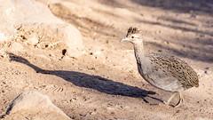 Perdiz Chilena (VPMPhoto) Tags: chile santiago bird birds animal animals fauna sony aves ave animales tamron slt usd a77 rm 70300