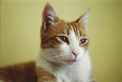 Buffy (Vampyyri.Lauri) Tags: chile laura cat iso200 pentax kodak sp gato spotmatic buffy analoga 500 analogica miau gatito rollo tudela catlovers revelado fotografiaanaloga lauratudela