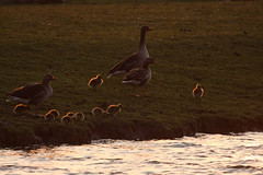 easter 2014 (beta karel) Tags: water grass geese goose meal chicks lovely 2014 ©betakarel