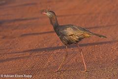 Red-legged Seriema, seriema (eisenrupp) Tags: minas gerais birding aves da brazilian cerrado serra canastra merganser patomergulhão