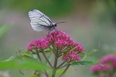Baumweißling (Aah-Yeah) Tags: white black butterfly bayern schmetterling achental veined chiemgau grassau aporia crataegi marquartstein baumweisling jagerbergl