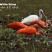 Scarlet and white ibisies, Eudocimus ruber & Eudocimus alba