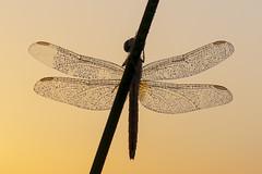 Newborn & Dew (jrosvic) Tags: dragonfly libelula libellulidae crocothemiserythraea crystalwings entomologia entomology dragonflies odonata odonato anisoptera anisoptero nikond90 nikon105mmf28vrmicro sunrise dew newborn