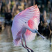 Roseate Spoonbills are back