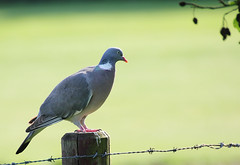 Pastel Pidgeon (B_Gerr) Tags: bird canon tamron pidgeon