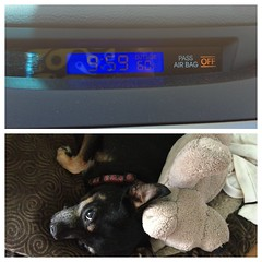 Missing (Nieve44/Luz) Tags: dog pet chihuahua newmexico santafe clock car buddy chi dashboard temperature hyundai chulo rentalcar elantra diptic dipticapp