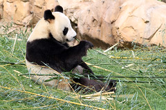 miam miam ! (stef.starco) Tags: nature animal canon zoo panda wildlife 41 loiretcher beauval zoodebeauval 70200mml huanhuan saintaignan zooparc staignan canon7d stefstarco 70200mmislusmii