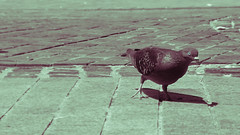 Pigeon (Carstic Productions) Tags: birds animals pigeons feathers curios