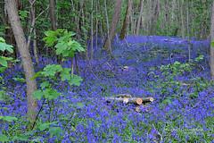 Mirage  bleu (Hélène Quintaine) Tags: nature fleurs gris vert bleu mai mirage arbre printemps coupe feuille jacinthe seineetmarne sousbois jacinthedesbois arbonnelaforêt jacinthesauvage