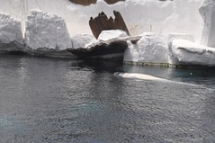 Beluga Whale (PirateTinkerbell) Tags: world ocean california ca sea wild white water animal animals nikon san sandiego 10 katie diego august arctic whale monday nikkor beluga belugawhale dslr 18 55 seaworld shamu vr 2010 sandiegoca seaworldsandiego 823 whitewhale 810 nikkorlens wildarctic august23 sandiegocalifornia seaworldcalifornia d5000 82010 82310 nikkor1855mmvr august2010 afsdxnikkor1855mmf3556gvr california2010 nikond5000 piratetinkerbell august232010 8232010 mondayaugust232010