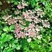 Hogweed pink