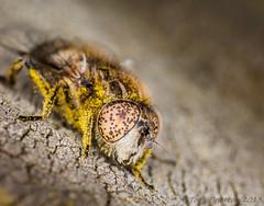 The Flys Eyes... (Tony Brierton) Tags: ireland macro newcastle spiders insects bugs flies beetles biodiversity cowicklow 12613 irishwildlife ecnr