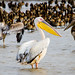 Senegal birds: Pelicans
